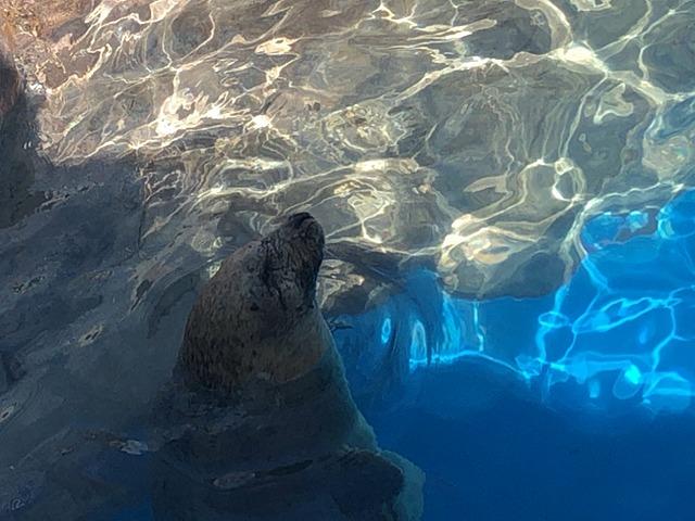 水中から顔を出すアザラシ
