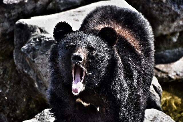 クマは凶暴だ